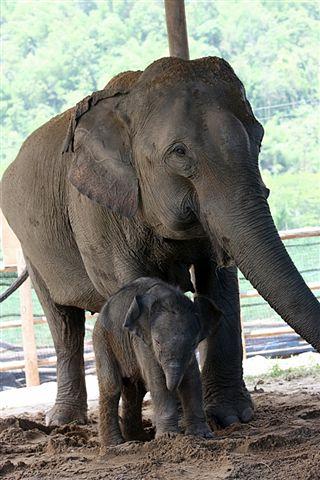 TEFFThai elephant in khao yai