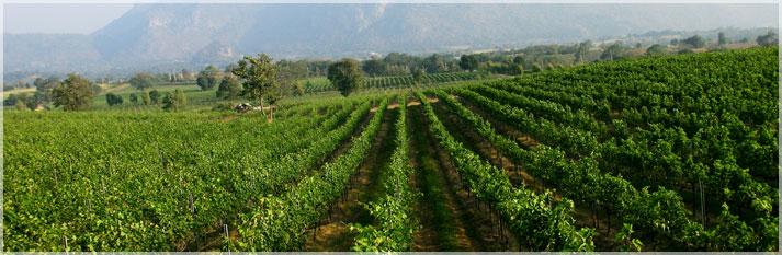 PB Valley vineyard in khao yai